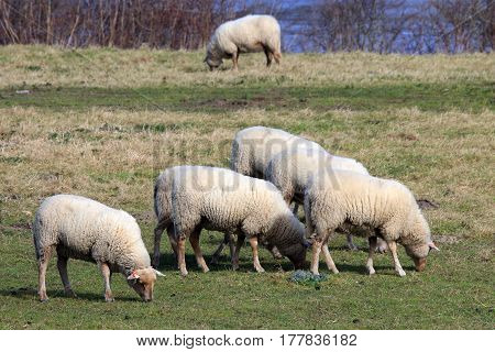 Sheep reared for wool and for their milk and their meat