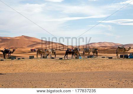 Camels in the Erg Shebbi desert in Morocco