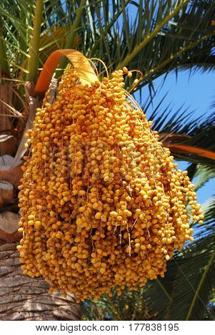 Palm tree laden with dates Lagos Malaga Province Andalusia Spain Western Europe.