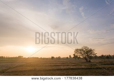 A tree stands on a cornfield. tree alone