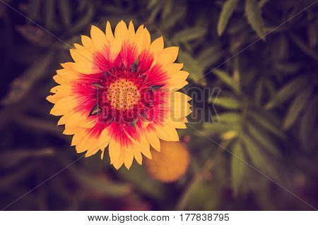 Vintage Photo Of Echinacea Flower