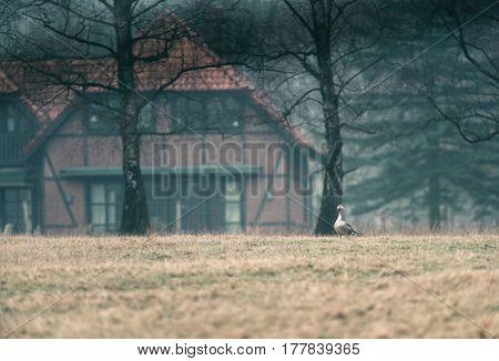 Gray Goose In Meadow Near Farm In Forest.
