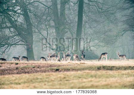 Large Group Of Fallow Deer Doe In Misty Forest Meadow.