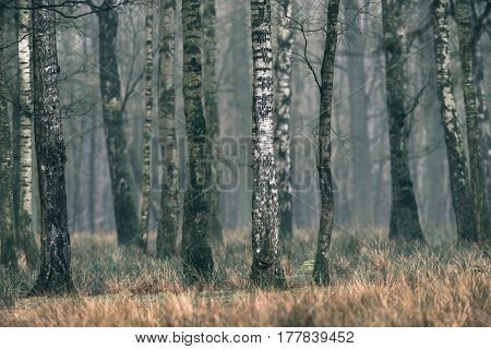 Trunk Of Birch Tree In Deciduous Forest.