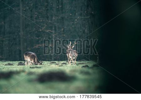 Male Fallow Deer Standing In Meadow Of Forest.
