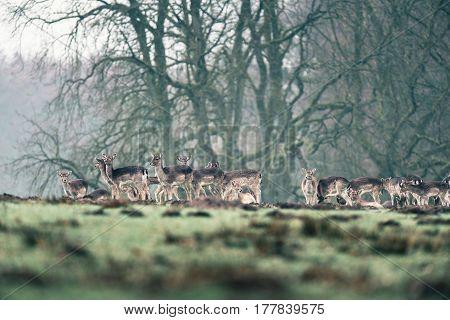 Fallow Deer Doe Standing Together In Meadow.