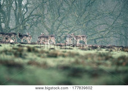 Fallow deer standing together in a meadow.