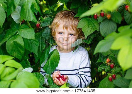 Cute little kid boy picking fresh berries on raspberry field. Child pick healthy food on organic farm. Little toddler boy play outdoors in fruit orchard. Preschooler gardening. Family having summer fun