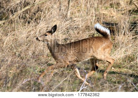 Whitetail Deer doe in wooded area in morning sun