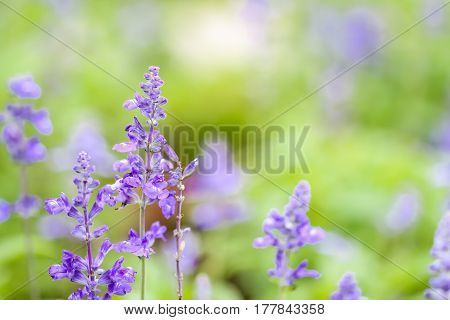 Closeup Blue Salvia Flower Meadow In The Garden