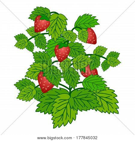 Ripe garden strawberry bush isolated on white background. Vector illustration