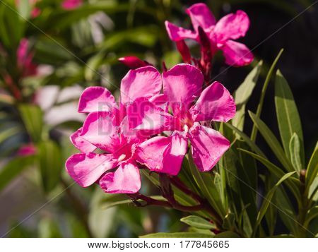 Red flowers of Nerium Oleander on shrub macro selective focus shallow DOF.
