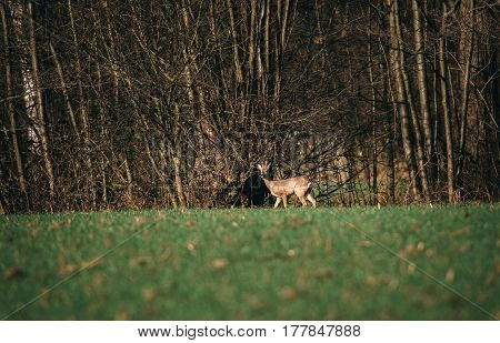Roe Deer Buck With Bark Antlers In Meadow Near Bushes.