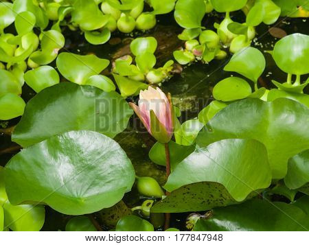 European Waterlily Water Rose or Nenuphar Nymphaea pink flower bud macro selective focus shallow DOF.