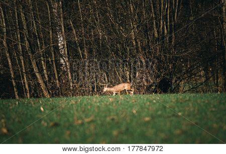 Roe Deer Buck With Bark Antlers In Meadow Looking For Food.