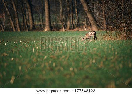 Grazing Roe Deer Buck In Field Near Bushes.