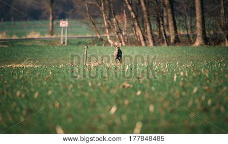 Roe Deer Buck Standing In Meadow Near Highway.