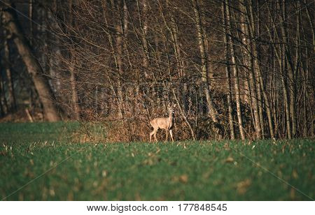 Alert Roe Buck With Bark Antlers Standing Near Bushes.