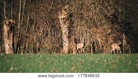 Two Roe Deer Buck In Meadow Near Bushes.