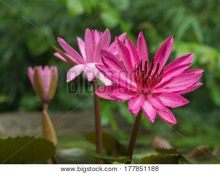 closeup pink lotus flowers in pond selective focus