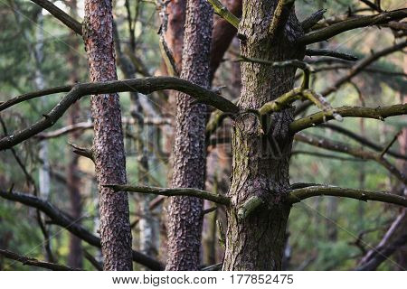 Bark of tree. Pine tree in the forest. Natural background. Pine forest