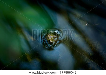 Head Of A Frog Peeking Out Of Water In Pond