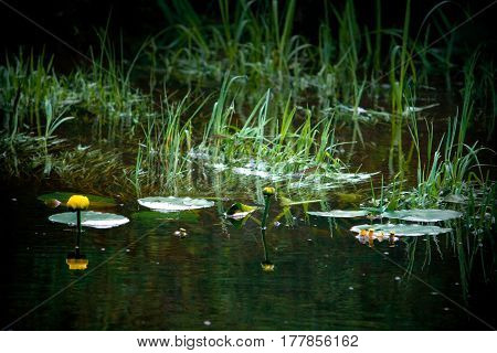Yellow Cowlily Plants In Pond