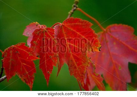 Red Autumn Maple Leaves In Maine