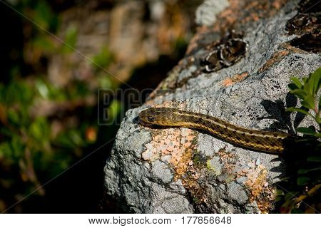 Head of a small common garter snake on a rock in Acadia National Park near Bar Harbor Maine.
