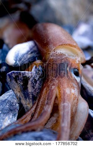 Detail Of A Squid Washed Up On Rocky Shore