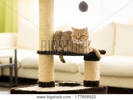 Cat lying on a scratching post, on a living room background