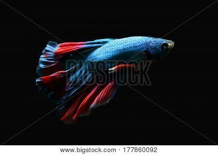 A blue biting fish with a beautiful red tail on a black background.