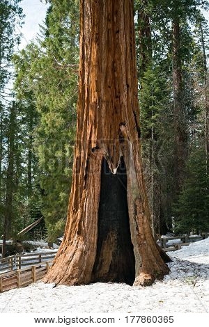 Giant Sequoia in the Forest, Sequoia National Park, California