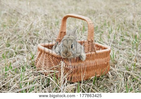 A Rabbit In Old Grass On The Farm In Basket