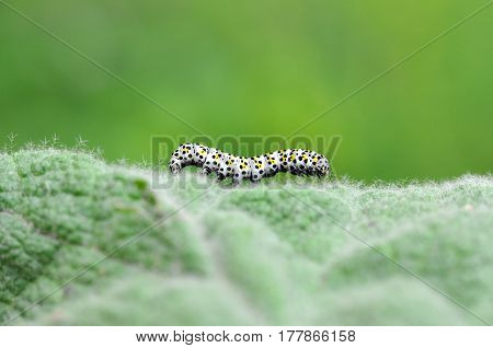 The mullein moth (Cucullia verbasci) caterpillar on food plant. Brightly colored larva in family Noctuidae on great mullein (Verbascum thapsus)