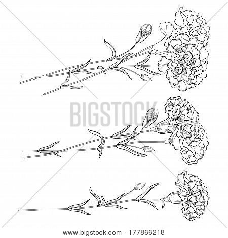 Vector set with outline Carnation. Flower, bud and leaves in black isolated on white background. Ornate floral carnations for spring or summer design, coloring book in contour style.