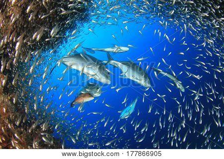 Trevally fish hunting sardines and glassfish underwater
