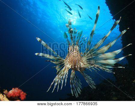 Lionfish fish on underwater coral reef in ocean
