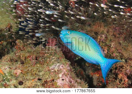 Parrotfish fish and glassfish on underwater coral reef