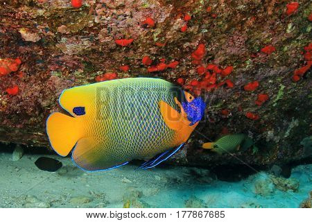 Blue-cheeked Angelfish fish
