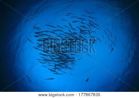 School of Chevron Barracuda fish