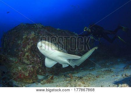 Leopard Shark (Zebra Shark) and scuba diver