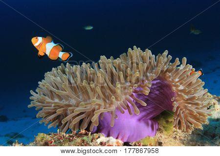Anemone and Anemonefish (Clownfish) fish