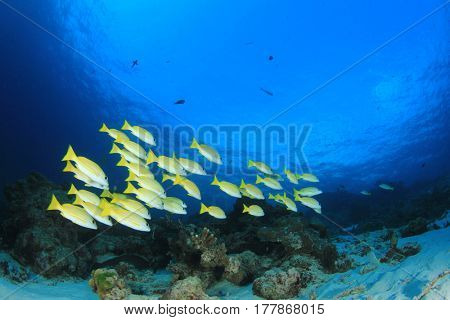 School of Bluelined Snapper fish