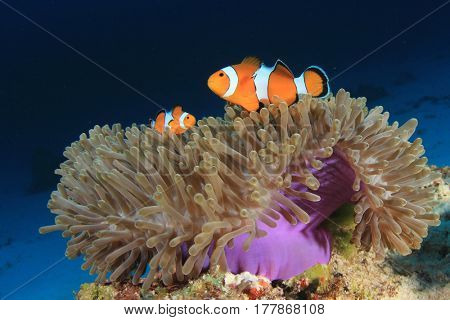 Anemone and Anemonefish (Clownfish) fish