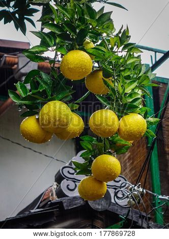 Mature Oranges And Leafs On Tree At The Garden