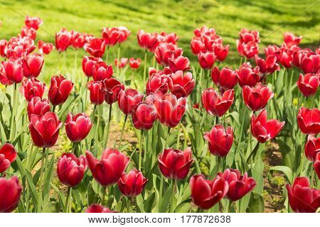 Flowerbed in the city Park with bright Carmine-red with white border tulips (lat. Tulipa) class Triumph on the background of green grass. Spring