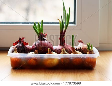 Onion growing on the window sill in the house. Into the container wetted with water and onions. Some follicles are already young green arrow.
