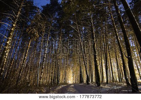 Forest in snow. Pine trees in the snow in the forest with a warm glow. Winter beautiful starry night landscape. Astrophotography. Clear starry sky in forest. Slow shutter speed. The spectacular sky. Scenic view. Pine forest in winter