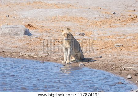 Young Male Lion Drinking From Waterhole In Daylight. Wildlife Safari In Etosha National Park, The Ma